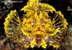 Yellow weedy scorpionfish