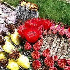 Barrel Cactus in various stages of blooming. #FridayFlowers