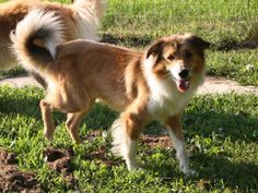 English shepherd farm collie dog more