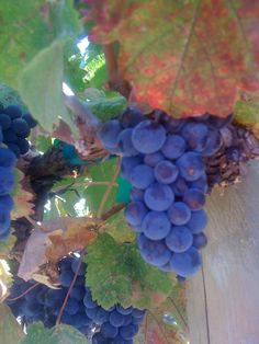 Grapes from a winery.  Hammersky