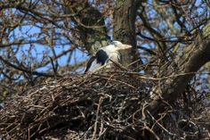 Charlecote Park, Warwickshire is also home to some Herons, who have started their Spring nests. Jana Melichar caught sight of this one on its nest this week. 17 April 2014