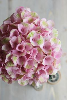 Pastel pink and green hydrangea