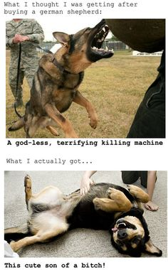 My co-worker trains #German #Shepherds, and I can attest to this.