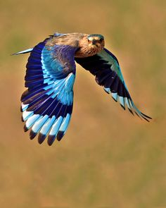 """""""INDIAN ROLLER IN FLIGHT"""" by rajmail007:)"""