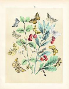 1889 Rare Antique Hand Coloured Lithograph of Butterflies by Karl Friedrich Berge. No. 49 #drawing #art #insects #entomology #butterflies #specimens #enchantedforest
