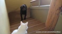 A whole bunch of wussy dogs who are scared to death of cats. (video)