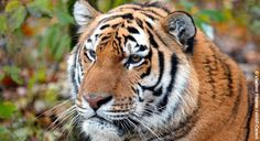 There are as few as 3,200 tigers in the wild today.