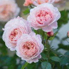 The flowers are beautiful at all stages. They are cupped at first, opening to form large rosettes, filled with many perfectly arranged petals. Their colour is a soft peachy pink. As the blooms open, the outer petals turn back and become a paler shade. There is a delicious fruity fragrance in the Tea Rose tradition.