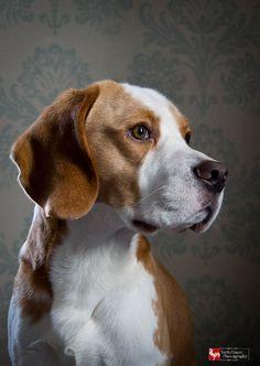 Portrait of my dog Brewster by Beagle_Crazy, via Flickr