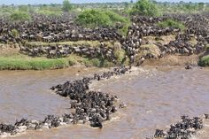 Great Migration of Serengetie and Masai Mara