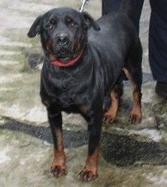 Adopter Grand chien Adulte - Refuge de la SNPA de Rouen - Seine-Maritime - Rottweiler - SecondeChance.org