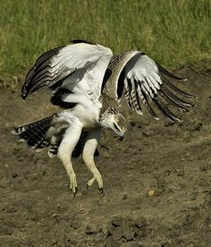 Martial Eagle landing