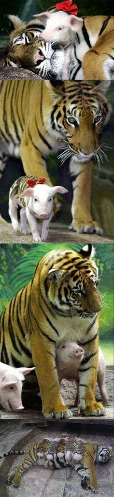 Momma Tiger 3 baby piglet