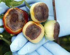 rot plummet, bottom rot, silk rot, tomato problem, tomato bottom, tomato garden, tomato blossom end rot, tomatoes blossom end rot, blossoms
