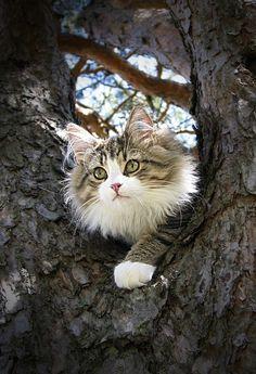 anim, kitten, tree, maine coon cats, kitti kitti, green eyes, pretti kitti, kitty, funny kitties
