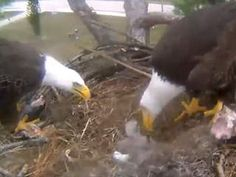 Eagle cam Southwest Florida: Watch live webcam streaming video of bald eagles in Lee County