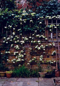 Trees climbing a garden wall - espaliered apple