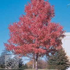 mapl tree, shades, red mapleaceru11br0024ft, summer red, outdoor