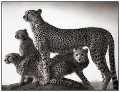 Cheetahs - By Nick Brandt