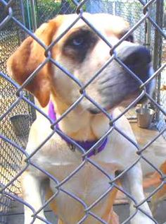 ((URGENT- GASSING SHELTER))~  Frankie is a 4yr old Bull Mastiff / Lab Retriever mix surrendered, his owners couldn't care for him anymore. He came in w/his brother Mickey (looks just like him.) Frankie & Mickey are warming up to us fast. They're available today & in need of a loving adopter/rescue at MEDINA COUNTY ANIMAL SHELTER Ohio dogscats@frontier.com (330-725-9121). Fee $42 & comes w/DHLPP & Bordatella vaccines, current year dog license & certificate to be spayed or neutered (we pay for it)