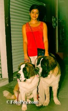 El san bernardo es una raza de perro originaria de los Alpes suizos y del norte de Italia, es…... Encuentra mas fotos en FotoPex.com