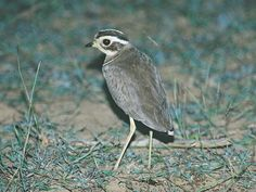 Jerdon's Courser (Rhinoptilus bitorquatus) is a nocturnal bird endemic to India and was discovered by the surgeon-naturalist Thomas C. Jerdon in 1848 but not seen again until its rediscovery in 1986. Found locally in the Eastern Ghats of Andhra Pradesh, it is currently known only from the Sri Lankamalleshwara Sanctuary, where it inhabits sparse scrub forest with patches of bare ground. Population estimates of this critically endangered bird range from between 25 and 200.