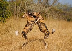 dog play, wild dogs