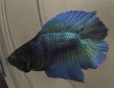 Excellent Doubletail Female Betta by Dan Young. 1st Place, World Halfmoon Expo I 2002