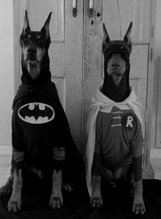 robin, heart, hero, halloween costumes, dog costumes, batman, pet costumes, doberman, friend