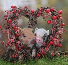 piglets in love