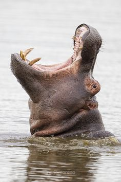 Emerging Hippo, South Africa