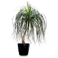 Ponytail Palm (Beaucarnea recurvata)    Additional Common Names:  Elephant-Foot Tree, Pony Tail Plant, Bottle Palm
