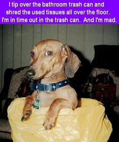 Dachshund shaming ... Tissue incident.