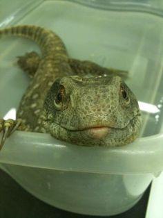A Savannah Monitor Lizard
