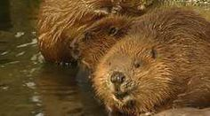 Wild beavers became extinct in Scotland sometime during the 18th century as a result of over-hunting, but the rodent has recently been spotted in several Perthshire rivers. While they have been welcomed by conservationists, farmers say they are causing thousands of pounds' worth of damage.