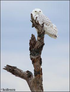 Snowy Owl, blue sky, treetop bird, blue sky, snowi owl, blue skies, snowy owl