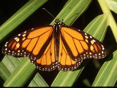 Naturalist see monarch butterflies wintering in santa cruz monarch