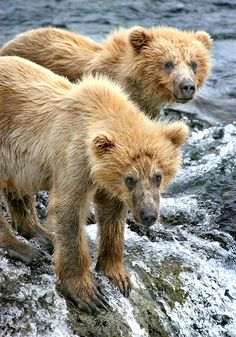 Grizzly cubs, Katmai National Park, Alaska, by Rob Kroenert