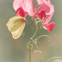 Sweet pea and butterfly