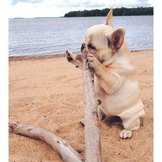 stick, french bulldogs, frenchbulldogs, puppy french bulldog, puppi