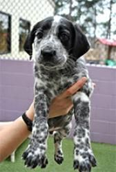 Bandit is an adoptable Dalmatian Dog in Bogart, GA. Please visit www.pawtropolis.com and look under Helping Paws Rescue 'Adoption Procedures' for more information on adopting one of our pets. You can ...
