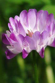✯ Astragalus Sinicus