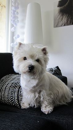 West highland white terrier dogs