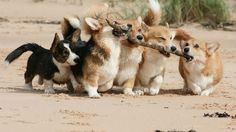 Teamwork in the summertime!  #adorable #summerfun #beachdogs