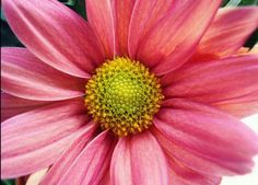 plant chrysanthemums and marigolds to deter pests
