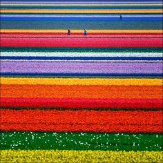 Holland tulip fields.... Wow!!!