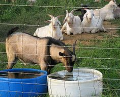 Preventing Urinary Calculi in goats. Advice from US University #goatvet