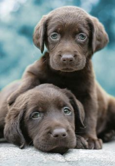 Cannot resist lab puppies... All I want for Christmas...