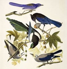 Stellar's Jays are the most beautiful NorCal birds. Jon James Audubon captures birds beautifully in his paintings.