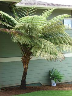 australian tree, tree ferns